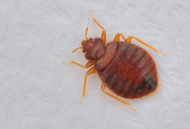 Bed Bugs Types Facts And How To Identify Bed Bug Treatment