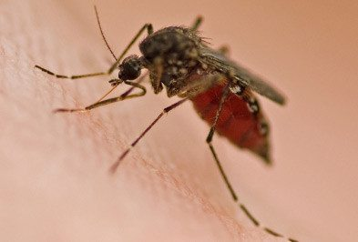 Mosquitos Types Facts And How To Identify Mosquito Control