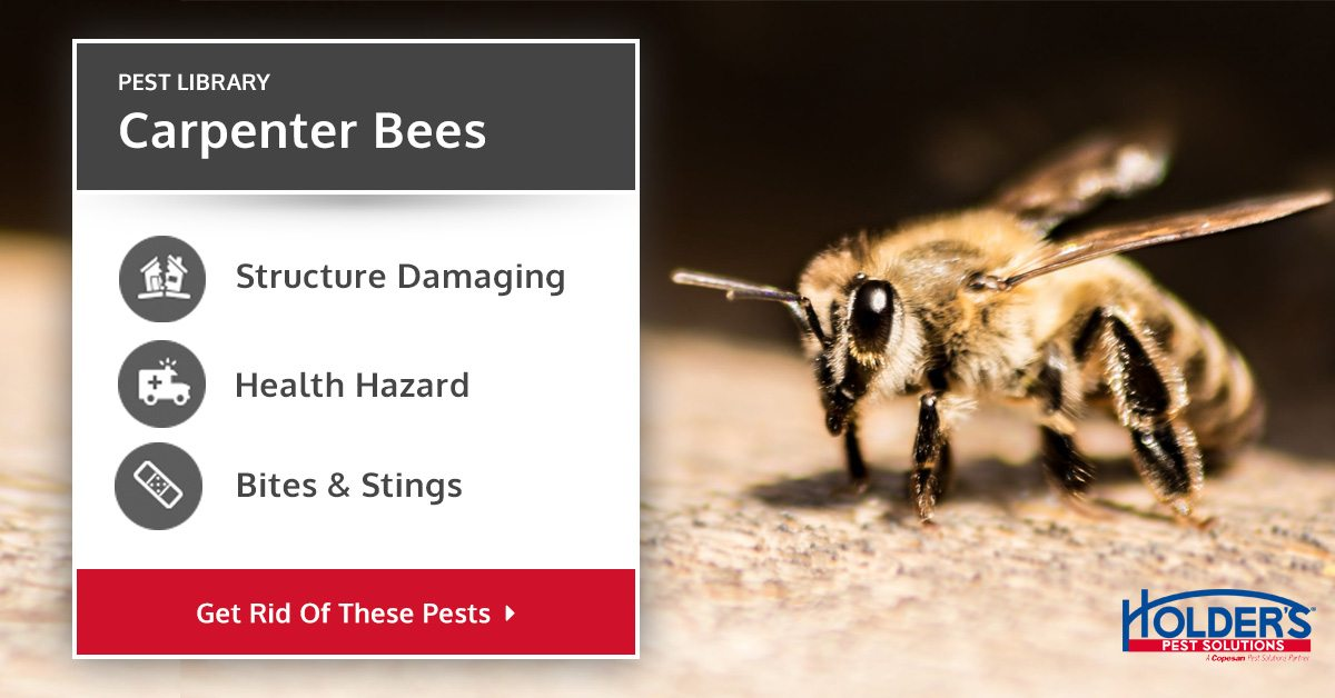 Carpenter Bee Types Facts And How To Identify