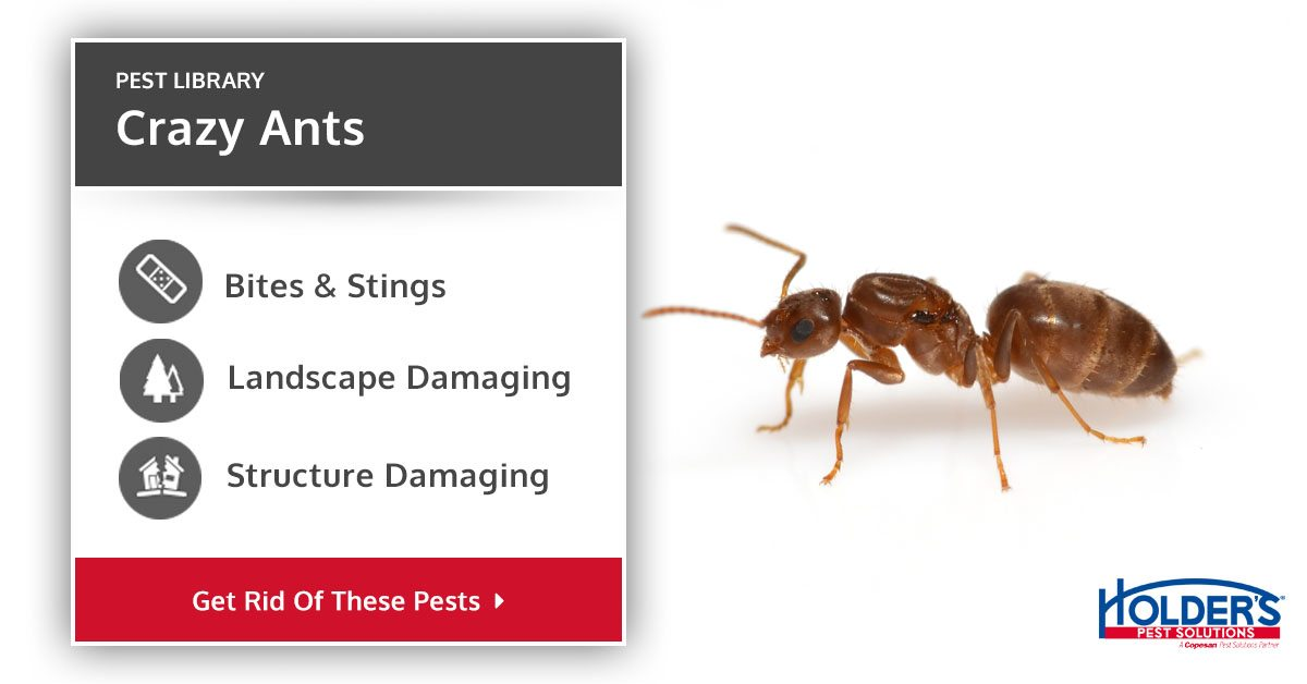 Crazy Ants Types Facts And How To Identify Crazy Ants Control