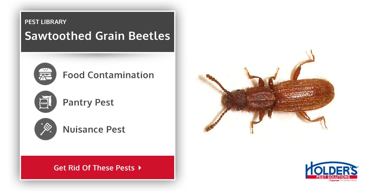 Red Flour Beetle Identification and Fact Sheet | Holder's