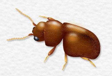 Cigarette Beetle Control - Types, Facts, and How to Identify