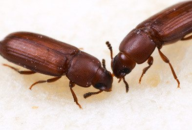 Flour Beetle - Types, Facts, and How to Identify | Flour Beetle