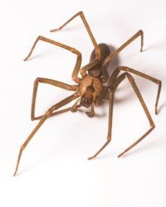 32_brown-recluse-spider