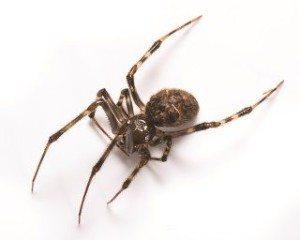 37_house-spider
