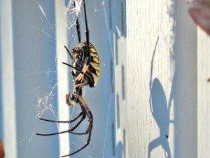 yellow-garden-spider