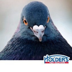 pigeons-in-texas-cause-problems-for-businesses