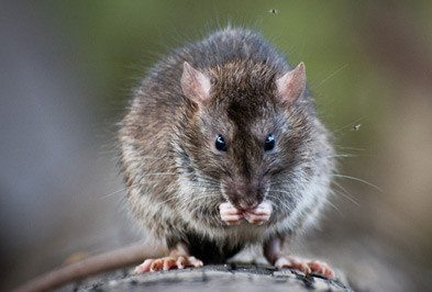 What A Rodent Invasion Means For Your Hotel Holder S